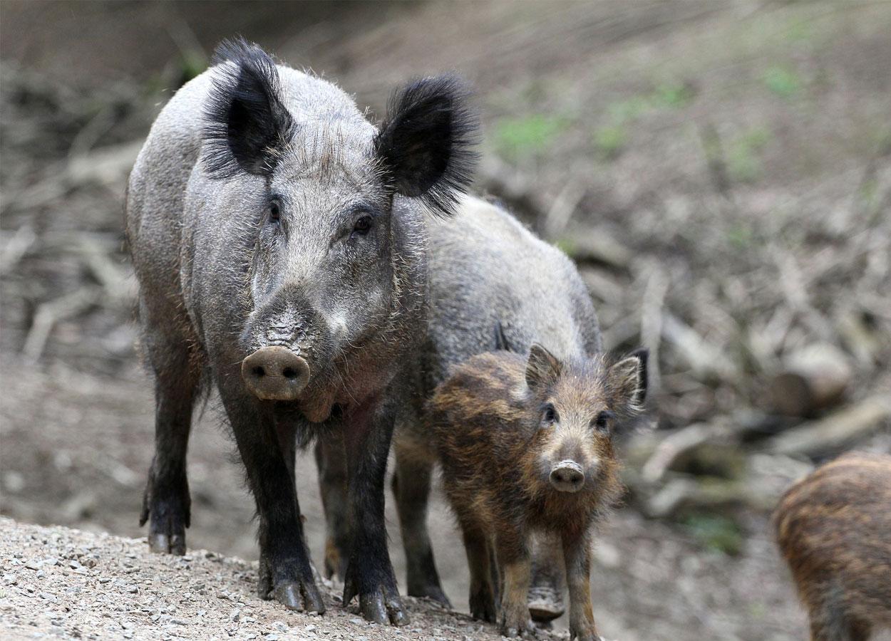 PSA in Europa, intensificare sorveglianza passiva sui cinghiali selvatici