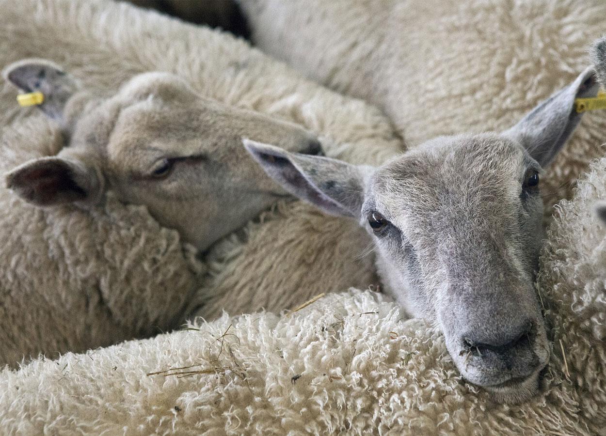 Protezione degli animali alla macellazione, parere tecnico del CReNBA per gli animali di piccola taglia