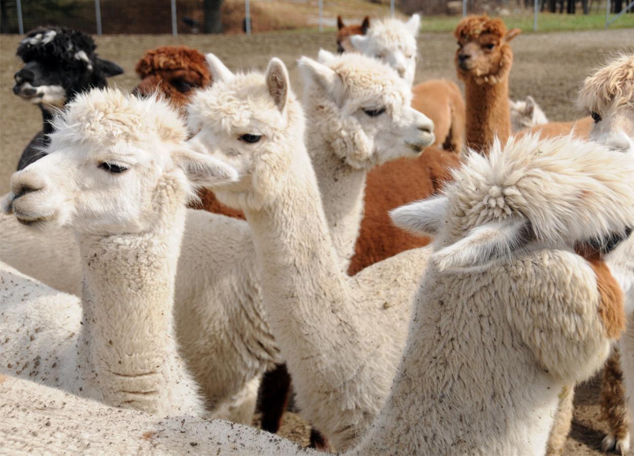 BDN dell'anagrafe zootecnica: al via la registrazione di attività attività che ospitano camelidi e altri ungulati
