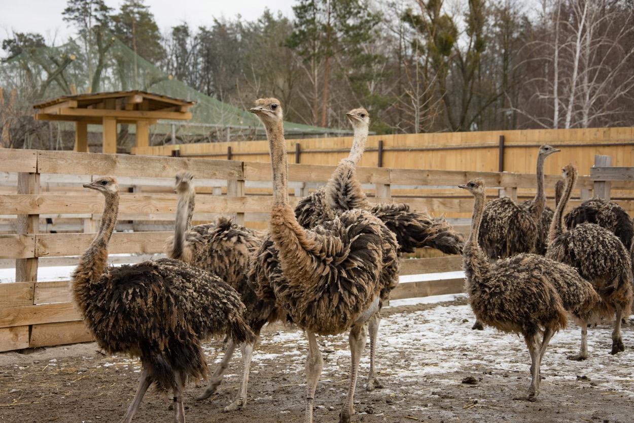 Influenza aviaria a bassa patogenicità (LPAI) in un allevamento di struzzi